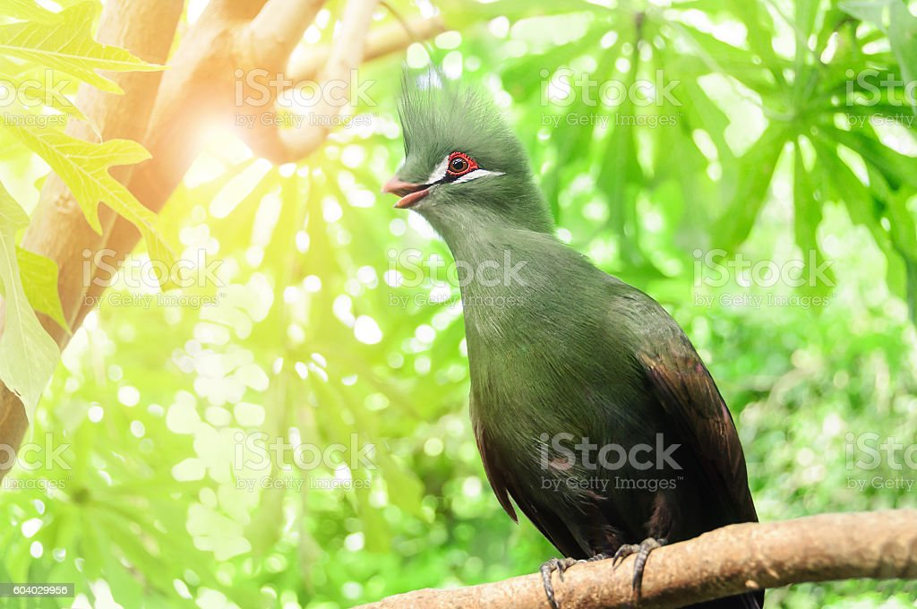 Closeup bird photo of a green  Tauraco persa. stock photo
