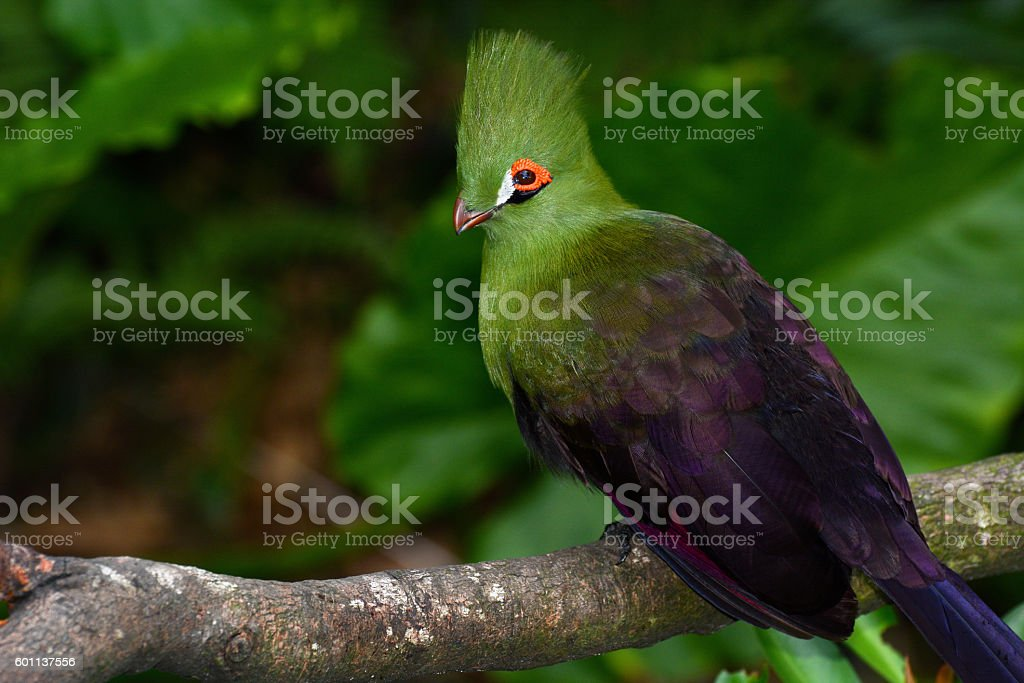 Closeup bird photo of a Guinea turaco, or Tauraco persa stock photo