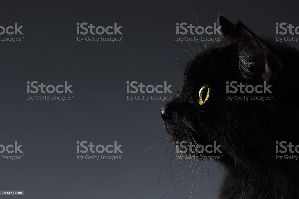 Em Closeup gato preto no perfil de rosto no escuro foto royalty-free