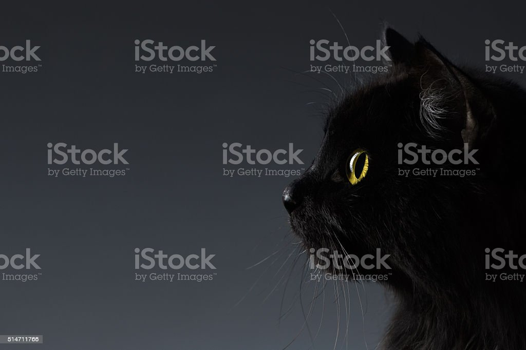 Closeup Black Cat Face in Profile view on Dark stock photo