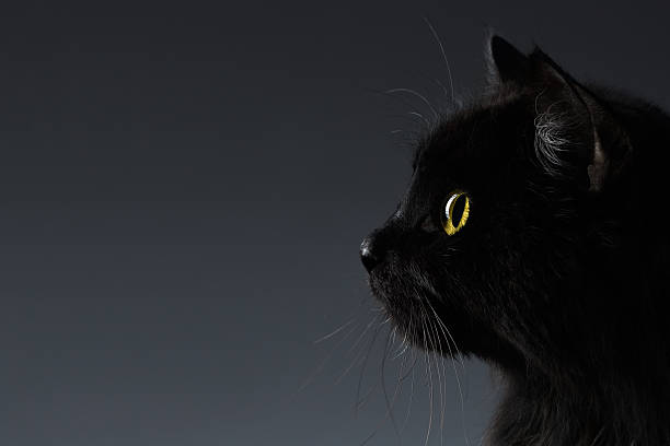 Closeup Black Cat Face in Profile view on Dark stock photo