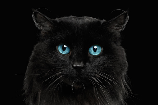 Closeup Black Cat With Blue Eyes Stock Photo Download Image Now Istock