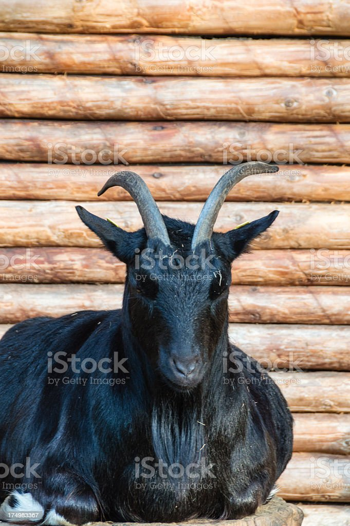 Close-up black goat stock photo