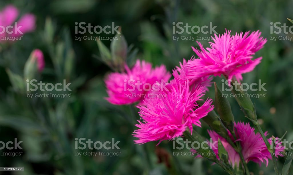 504bf8d0c Close-up blooming carnation glory flower Dianthus caryophyllus, carnation  clove pink, species of Dianthus deltoides - ground cover carnation plant  for ...