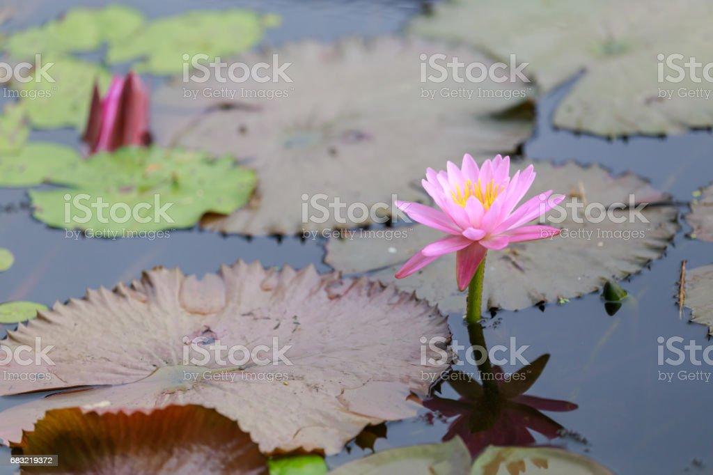 ぼかしの背景にスイレンやハスの花の開花をクローズ アップ。 ロイヤリティフリーストックフォト