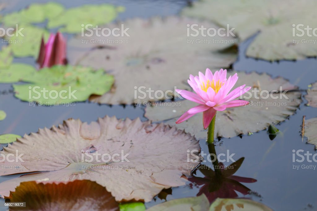 Closeup blooming waterlily or lotus flower on blur background. foto de stock royalty-free