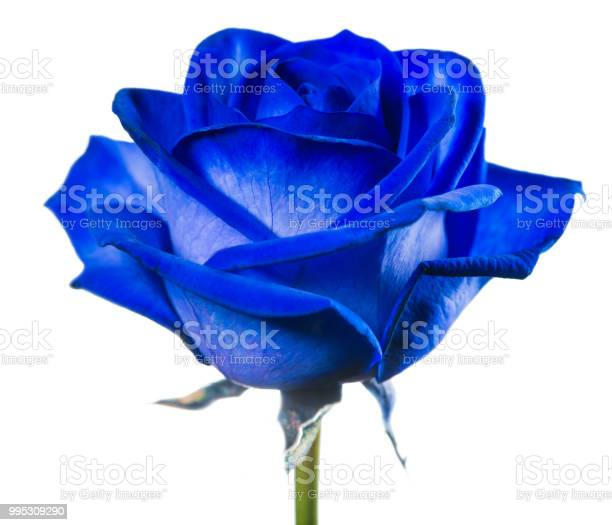 Closeup blue rose isolated on white background picture id995309290?b=1&k=6&m=995309290&s=612x612&h=qjduuqatierljscng7h g6oeu4eb1eqfqlmycl8eyuo=