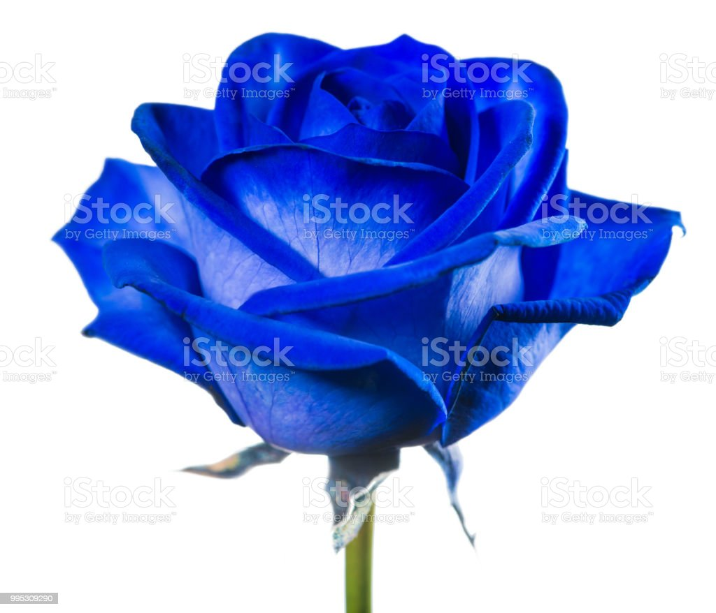close-up blue rose isolated on white background stock photo