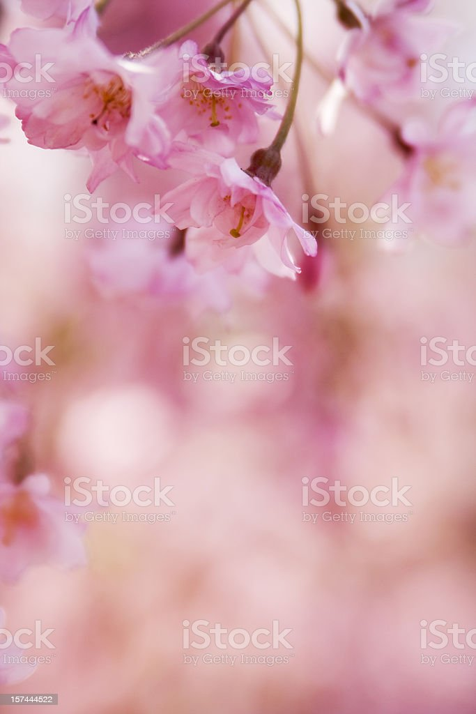 Close-up bokeh image of pink cherry blossom royalty-free stock photo