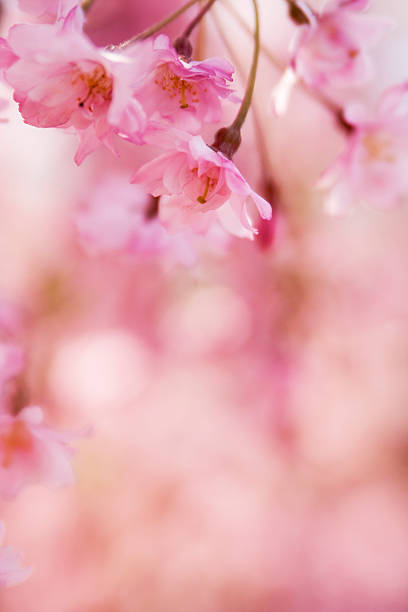 Close-up bokeh image of pink cherry blossom stock photo