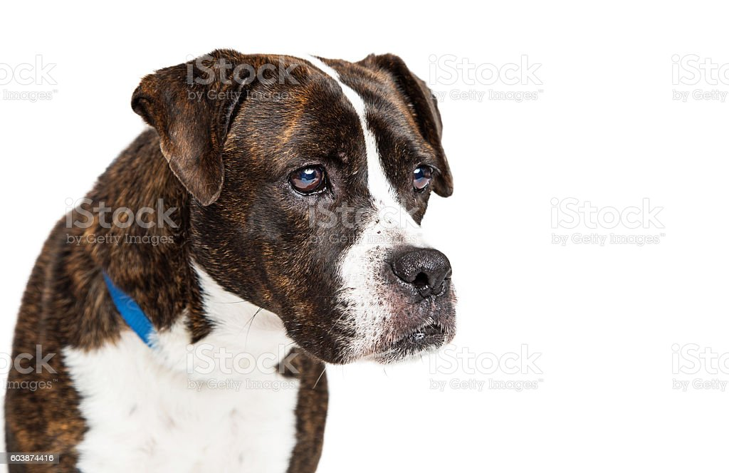 Closeup Boxer Crossbreed Dog Looking Side stock photo