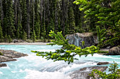 beautiful forest landscape, Kicking Horse, Yoho National Park, British Columbia, Canada