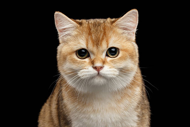 Close-up British Cat Gold Chinchilla Looking in Camera, Isolated stock photo