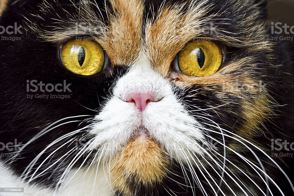 Close-up British Exotic Shorthair Cat royalty-free stock photo