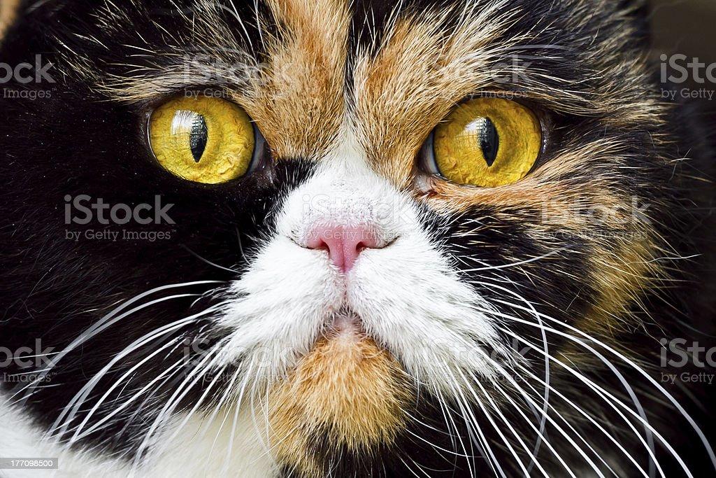 Close-up British Exotic Shorthair Cat stock photo
