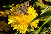 A close-up shot of a brown butterfly collecting pollen from a yellow flower during the summer season.