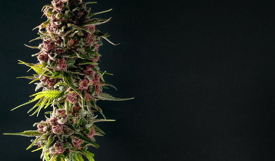 835508564 istock photo close-up bud marijuana bubble gum on black background with space for text 1268750868