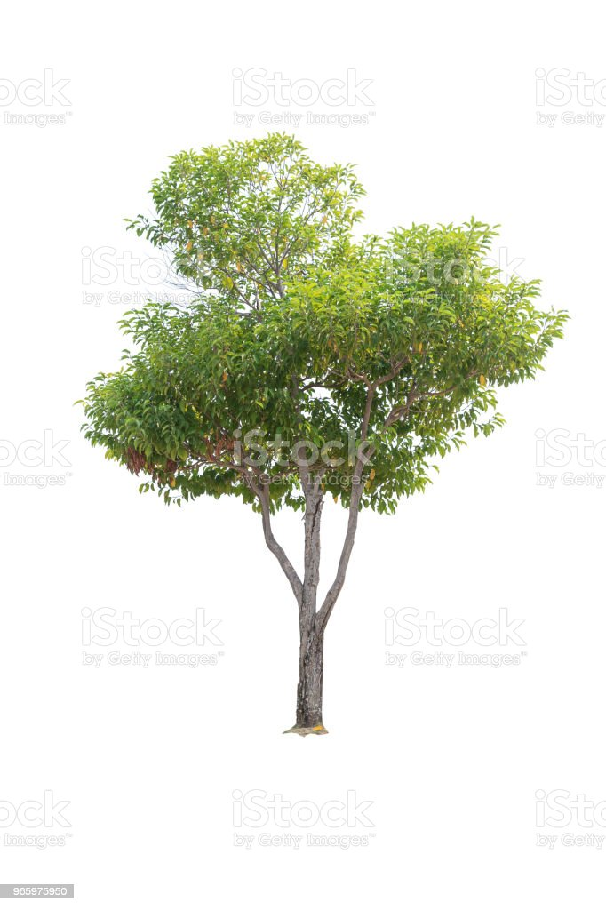 Closeup  Bullet Wood (Mimusops elengi Linn) Tree isolated on white background - Royalty-free Branch - Plant Part Stock Photo