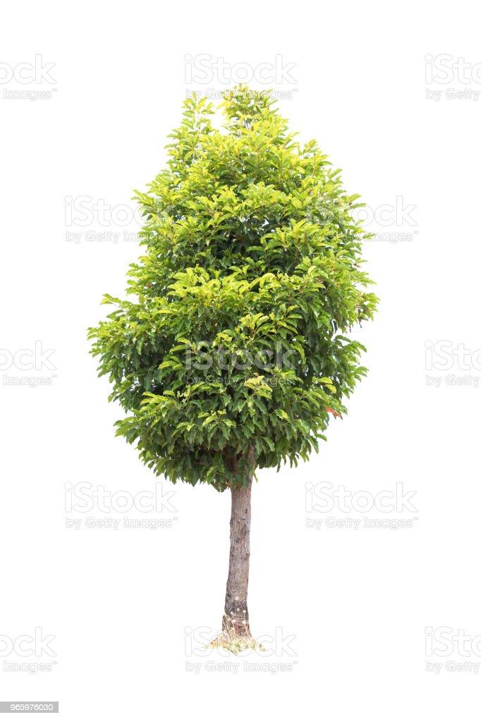 Närbild Bullet trä (grisella ingår Linn) träd isolerad på vit bakgrund - Royaltyfri Fotografi - Bild Bildbanksbilder