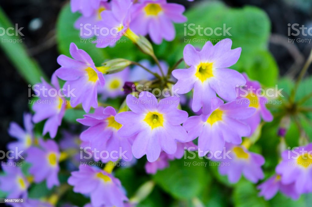 Close-up bunch of garden purple flowers royalty-free stock photo