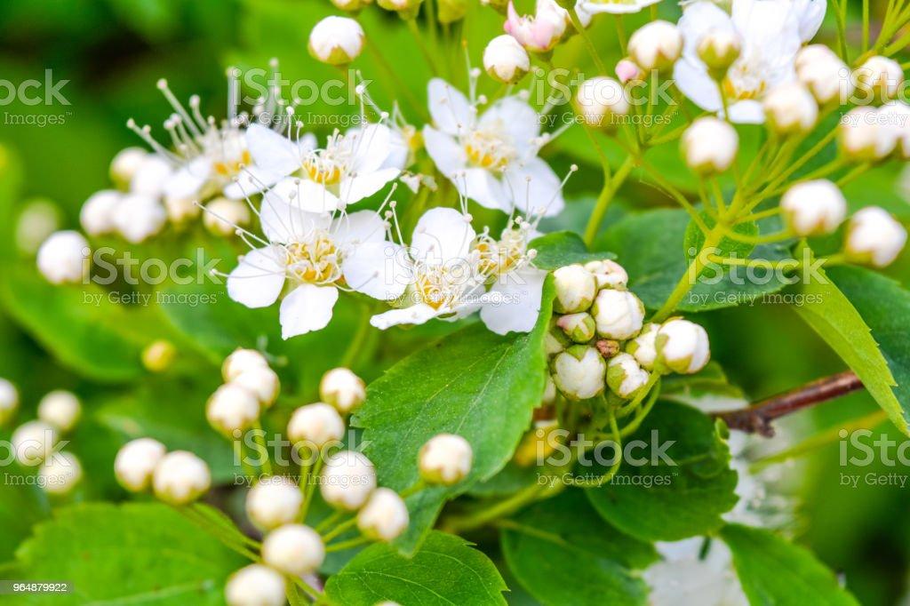 近束花園白花 - 免版稅俄羅斯圖庫照片