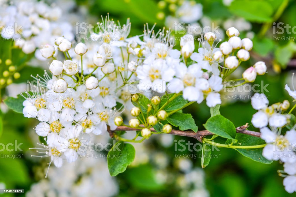 Close-up bunch of garden white flowers royalty-free stock photo