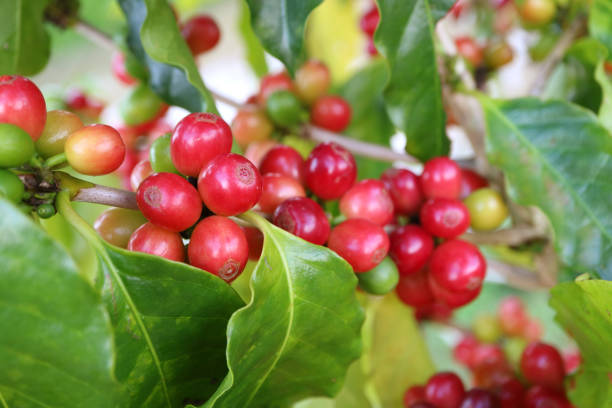 Closeup Bunch of Ripening Vibrant Red Coffee Cherries on the Tree – Foto