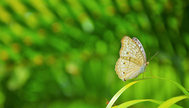 Closeup butterfly on leaf picture id603260190?b=1&k=6&m=603260190&s=612x612&w=0&h=9wf76ykxj4cdfdjuz9ejjowqchrxvyug6pcagfd8tcs=