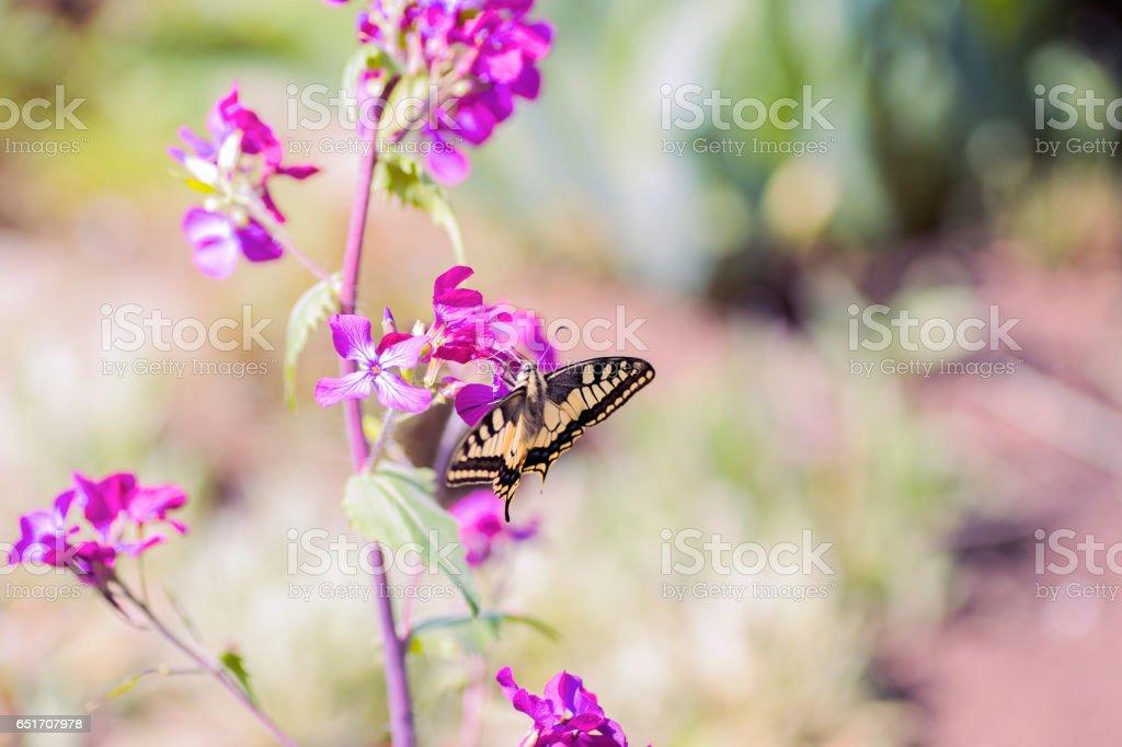 Close-up borboleta rabo de andorinha em flores no jardim - foto de acervo