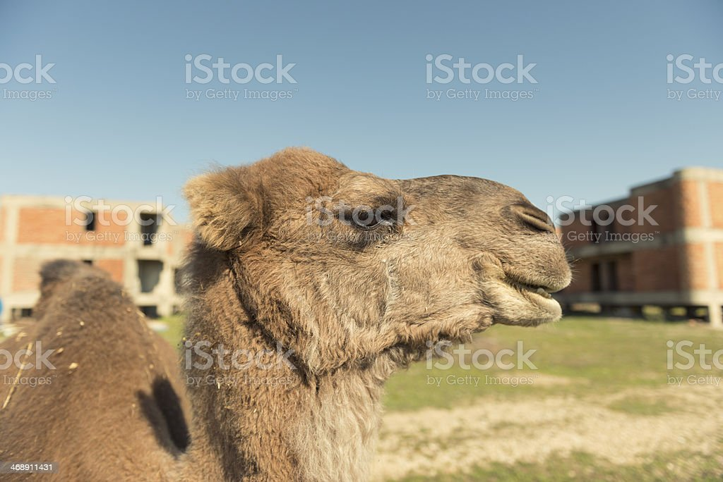 Close-Up Camel royalty-free stock photo