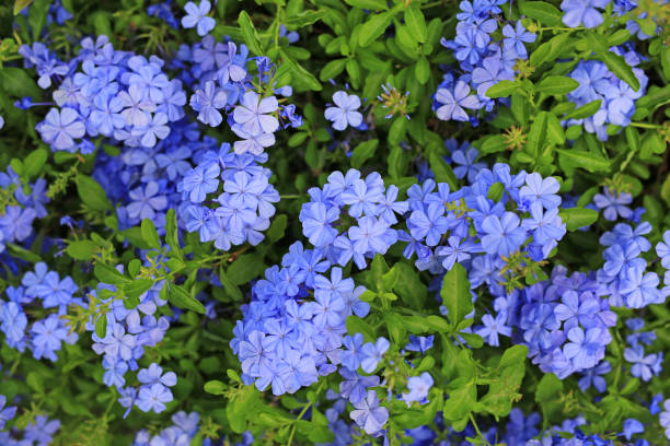 Close-up cape leadwort (Plumbago auriculata) flower in the garden. stock photo
