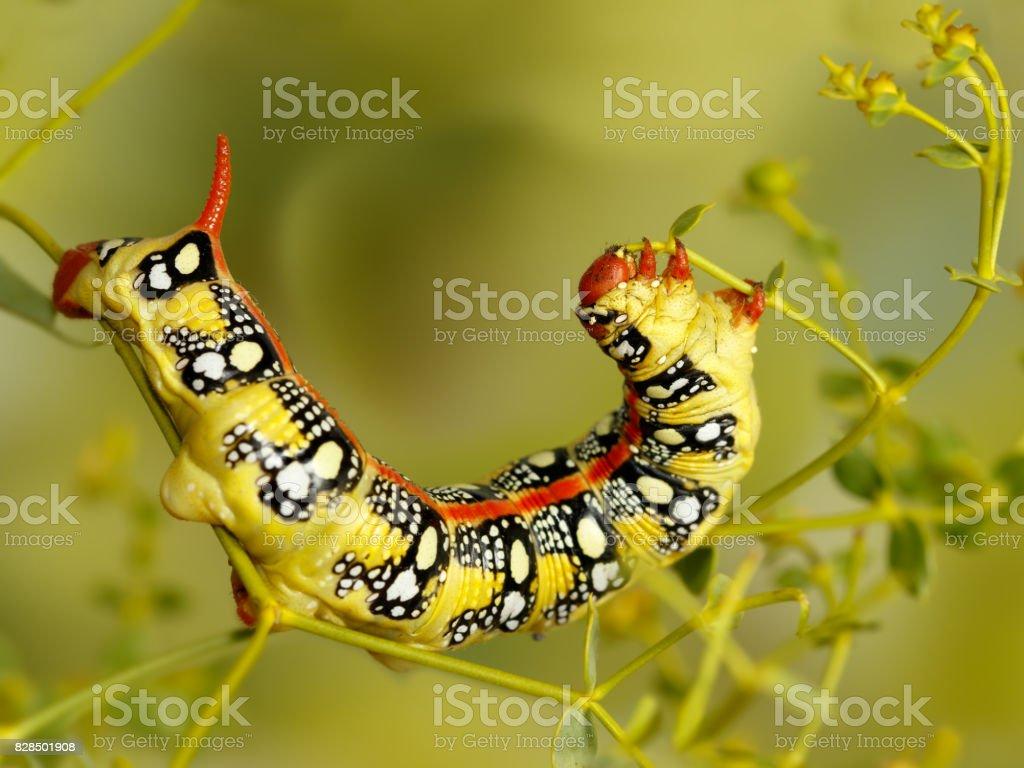 Closeup caterpillar of Spurge hawk-moth (Hyles euphorbiae) eats the plant Euphorbia stepposa stock photo