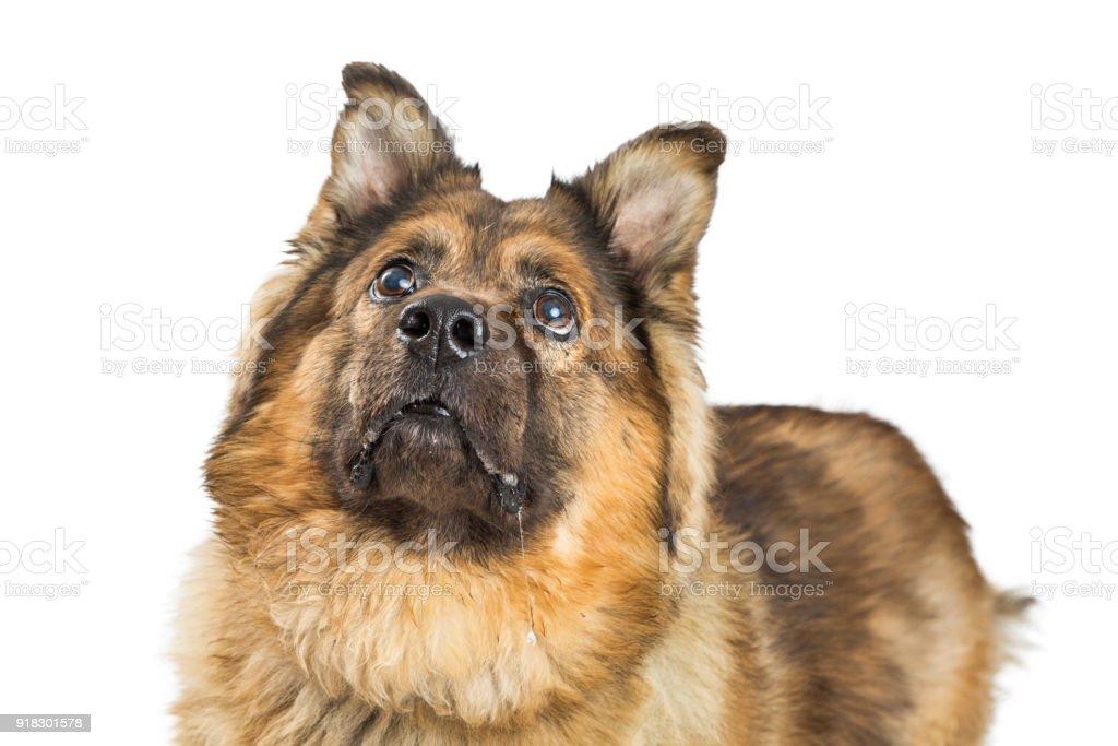 Closeup Chow Mixed Breed Dog stock photo