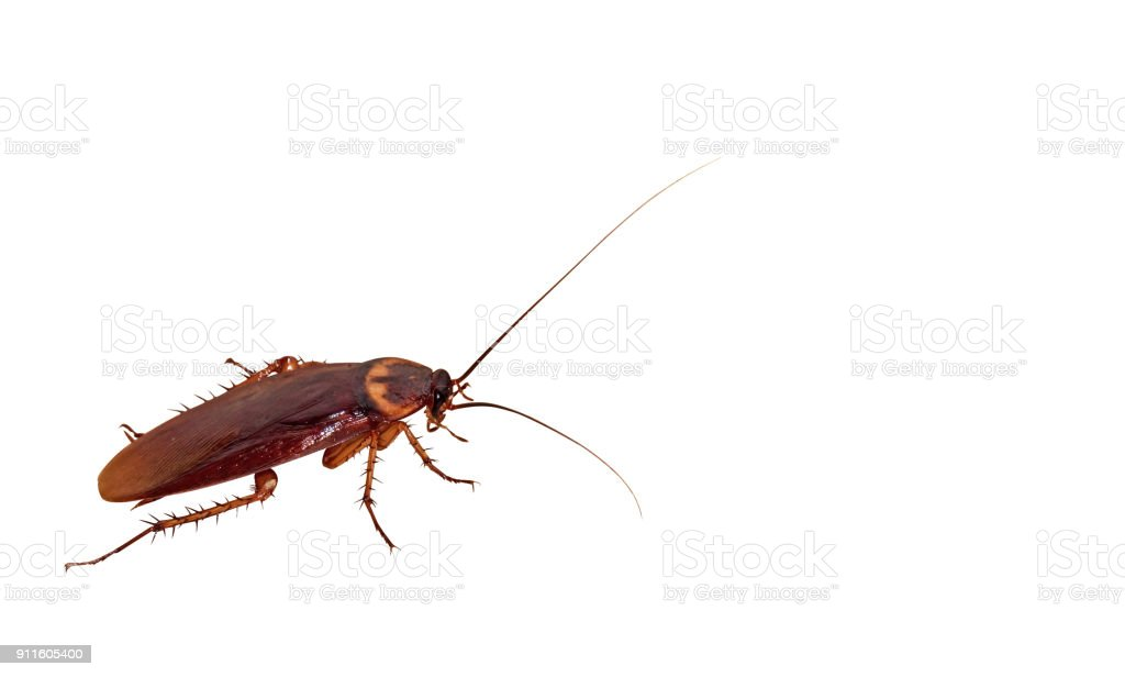 Closeup Cockroach on White Background, Clipping Path - foto stock