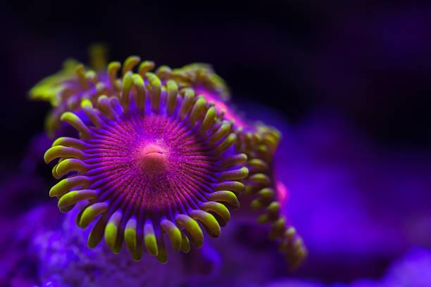 closeup colorful coral in aquarium reef tank - coral and mauve stock-fotos und bilder