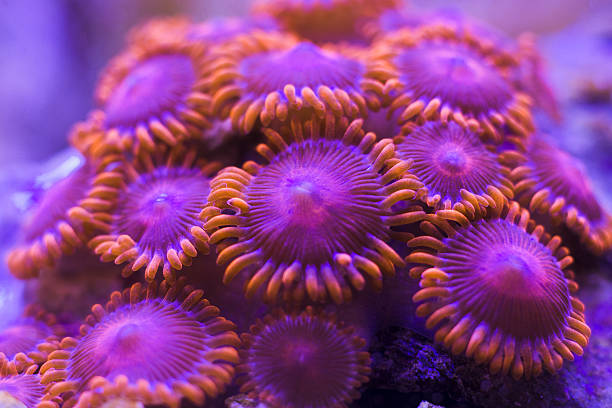 Closeup colorful coral in aquarium reef tank zoanthus coral in aquarium reef tank sea anemone stock pictures, royalty-free photos & images