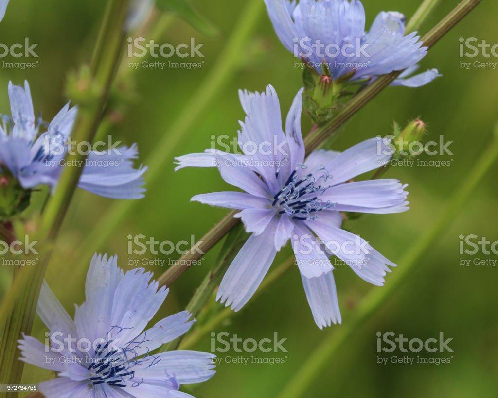 Closeup Gemeinsame Chicorée Blühen Im Sommer Stockfoto Und Mehr