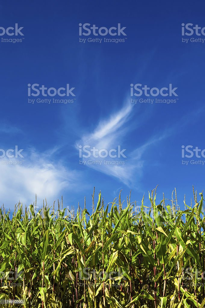 Close-up corn field with blue sky royalty-free stock photo