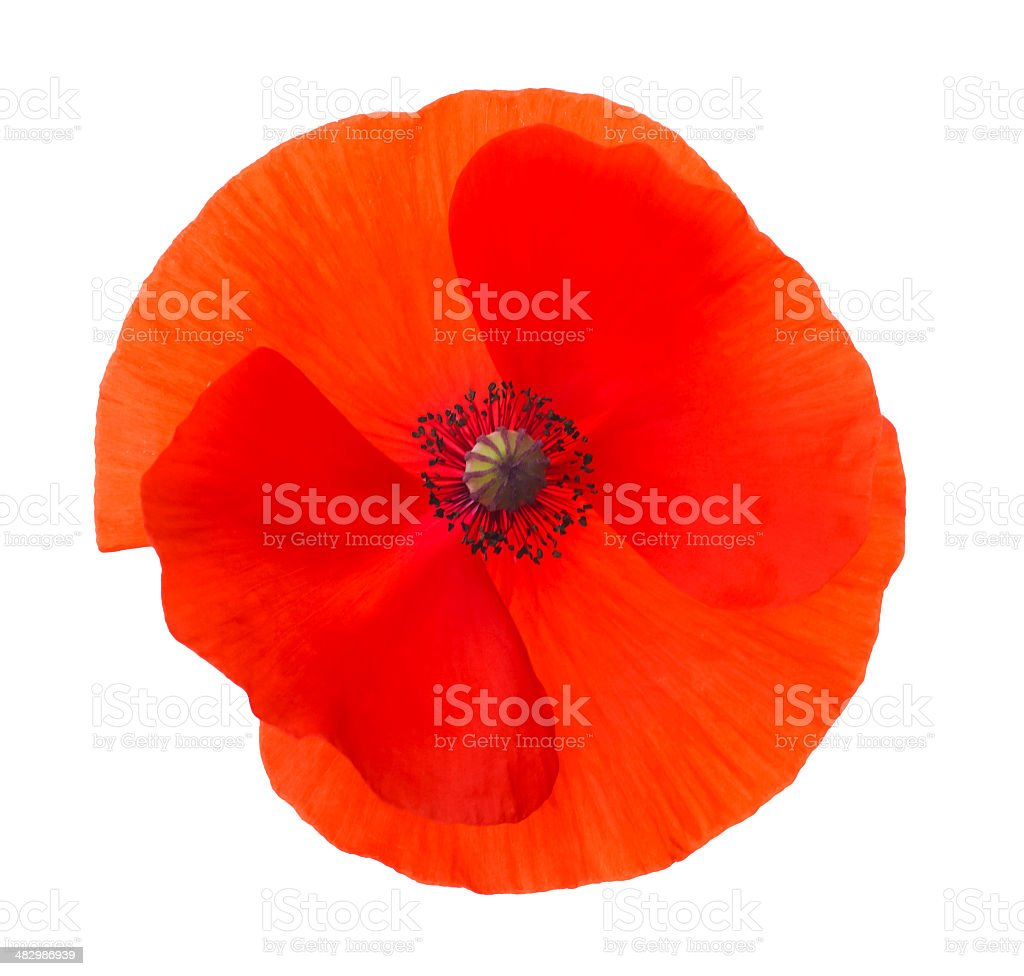 Close-up Corn Poppy (papaver rhoeas) Isolated with Clipping Path royalty-free stock photo