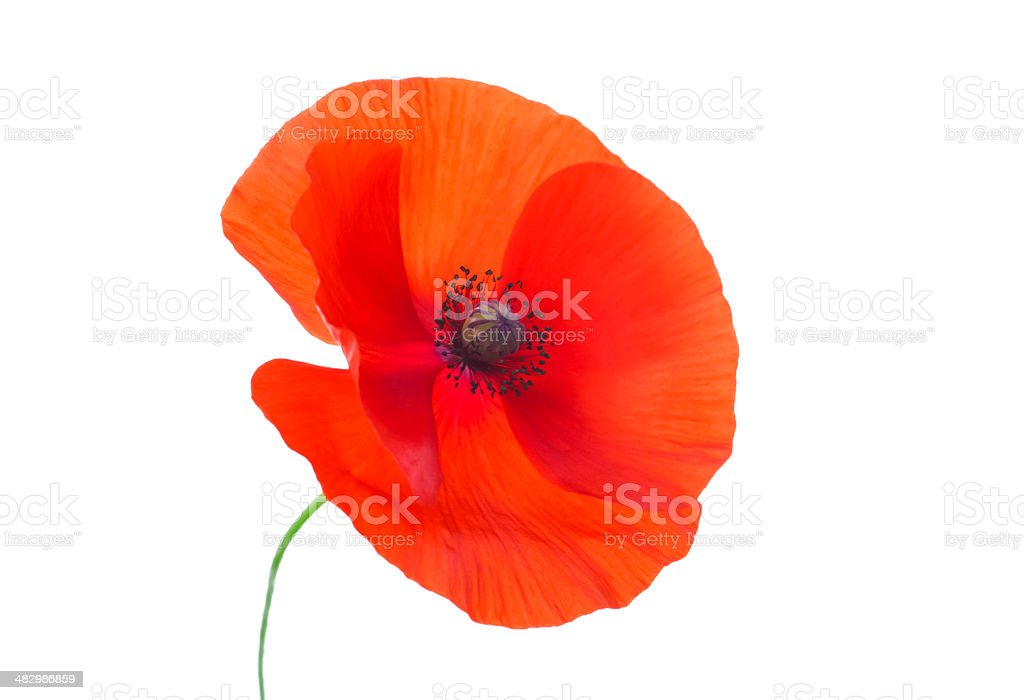 Close-up Corn Poppy (papaver rhoeas) On White with Clipping Path stock photo