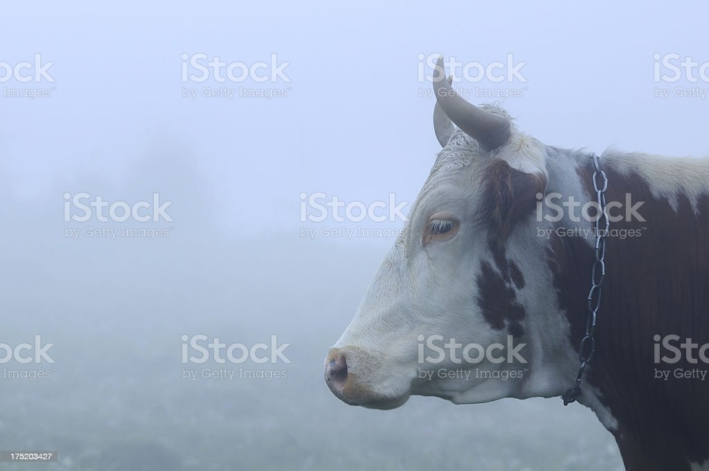 Close-up cow head in morning fog royalty-free stock photo