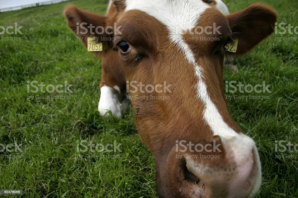 close-up cow royalty-free stock photo