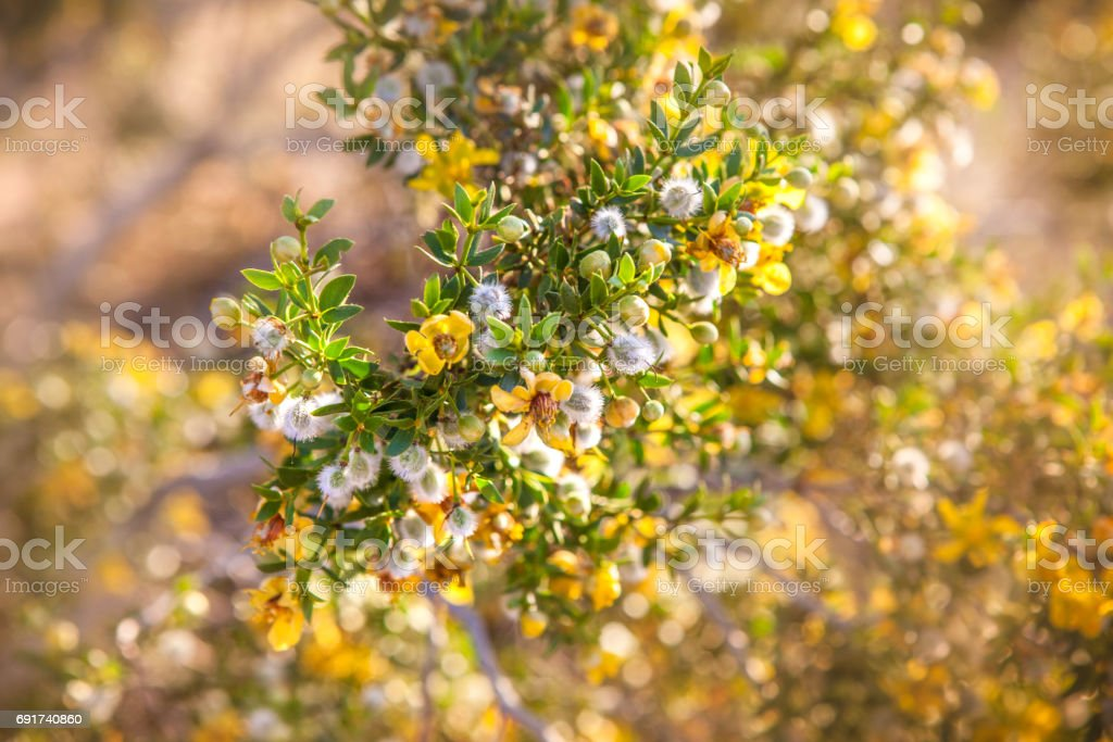 Close-up Creosote Bush With Flowers Blooming stock photo