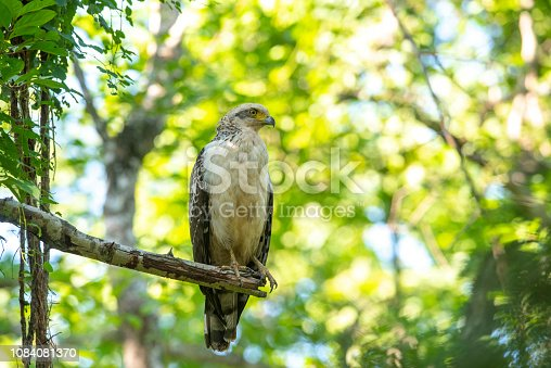 Closeup crested serpent-eagle, juvenile