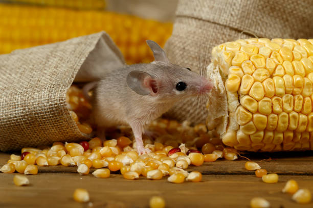Closeup curious young gray mouse lurk near the corn and burlap bags on the floor of the warehouse. Closeup curious young gray mouse lurk near the corn and burlap bags on the floor of the warehouse. Concept of rodent control. rodent stock pictures, royalty-free photos & images