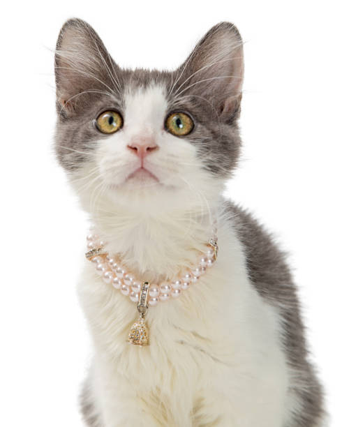 Closeup cute kitten wearing pearl necklace picture id1059332142?b=1&k=6&m=1059332142&s=612x612&w=0&h=pxkplrdmxypon5zwjc 8vz3bsgkcswuosru6njd9o k=