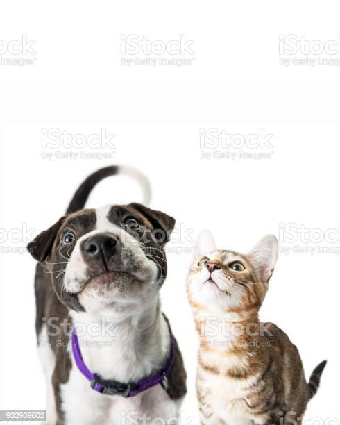 Closeup cute puppy and kitten looking up picture id933909602?b=1&k=6&m=933909602&s=612x612&h=julfarlczyijuorqr0r9o035g ruznmbite uio3gnc=