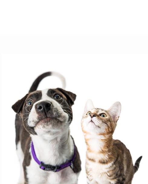 Closeup cute puppy and kitten looking up picture id933909602?b=1&k=6&m=933909602&s=612x612&w=0&h= bfizc7l3gwyo qus3kx72si1ydhcfeuj1ko1flddbc=