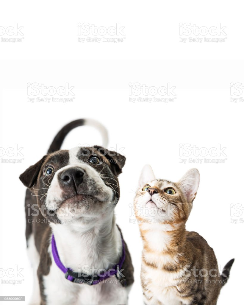 Closeup Cute Puppy and Kitten Looking Up stock photo