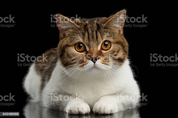 Closeup cute scottish straight lying cat face isolated black picture id543486568?b=1&k=6&m=543486568&s=612x612&h=pvbazamtmv0gxm9dn0mhe 8qfq2 g1ginyln8wlui7u=